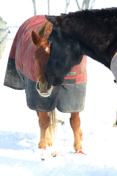 Horse Friends in the Snow