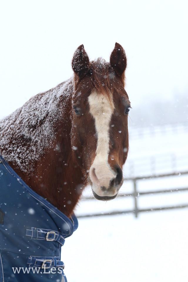 Quarter Horse in the Snow
