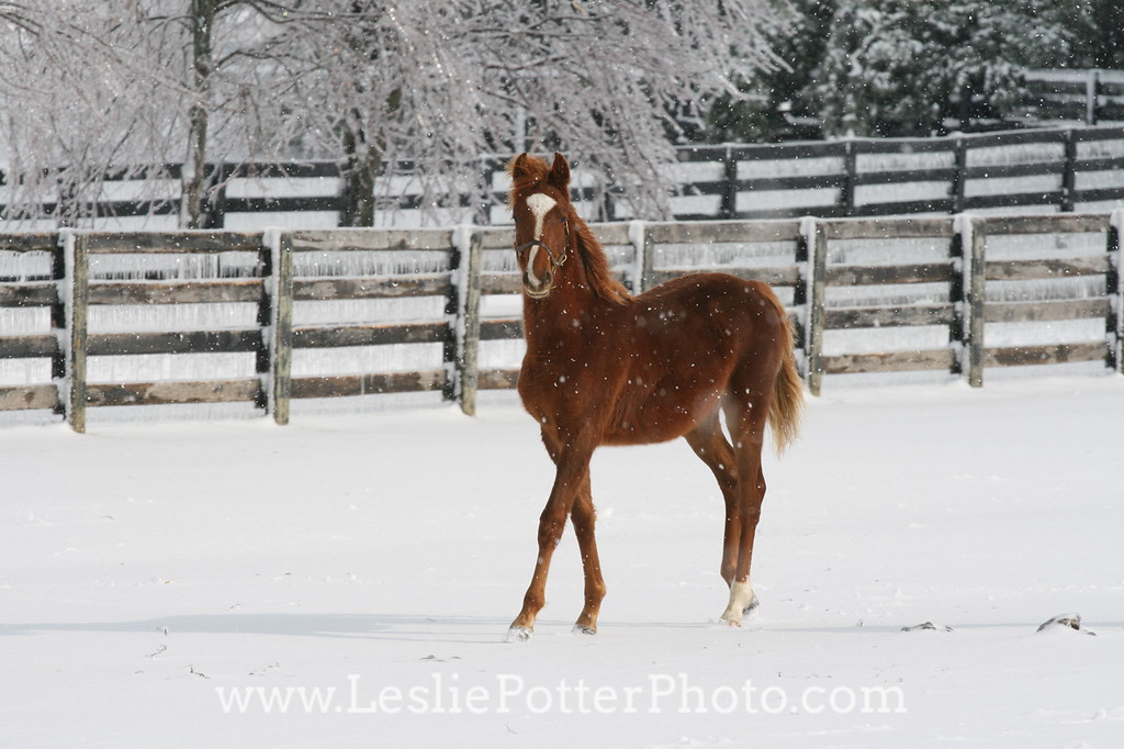Foal in the Snow After an Ice Storm
