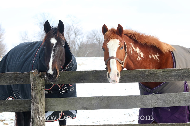 Two Horses in Blankets Looking Over the Fence in Winter