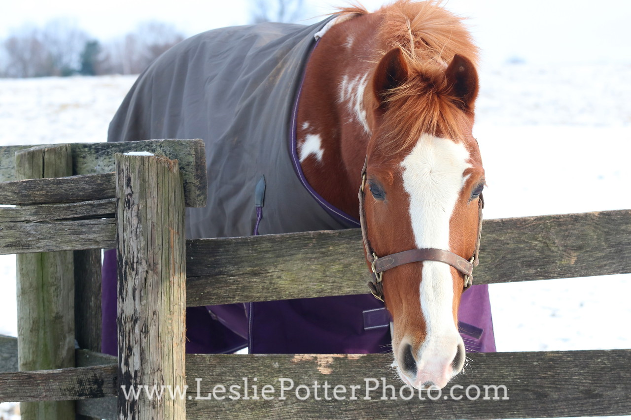 Paint Horse in a Purple Blanket Looking Over the Fence in Winter