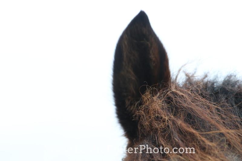 Closeup of a Horse's ear