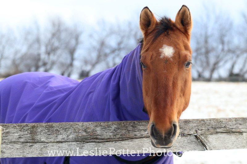 Buckskin Horse in a Purple Blanket and Neck Cover