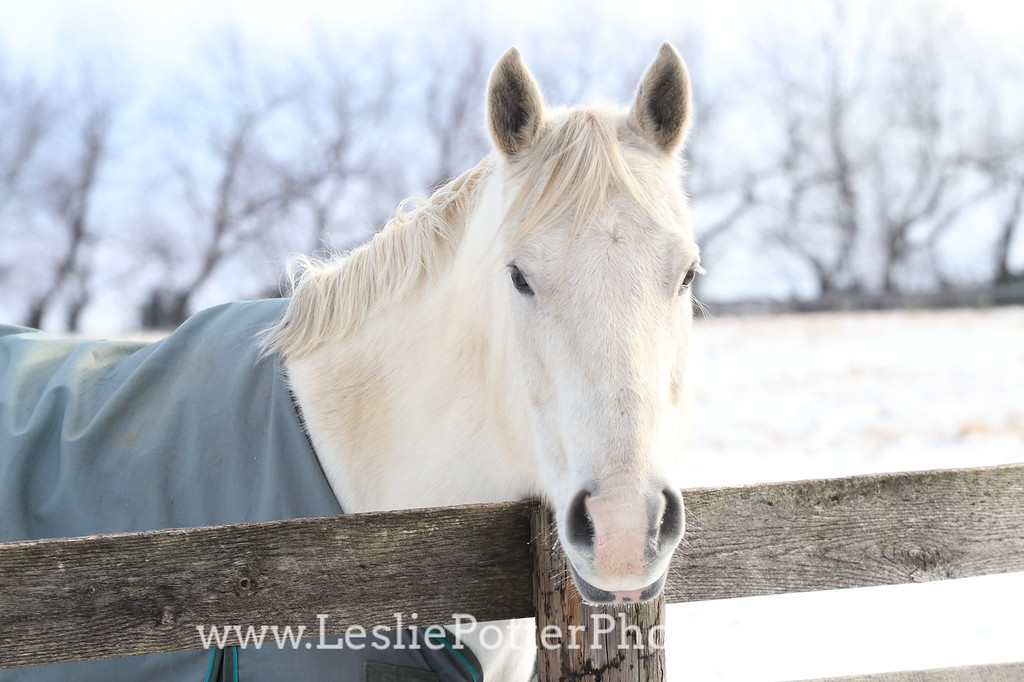 Gray Horse in a Blanket Looking Over the Fence in Winter