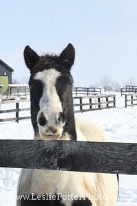 Pinto Horse Looking Over the Fence in Winter