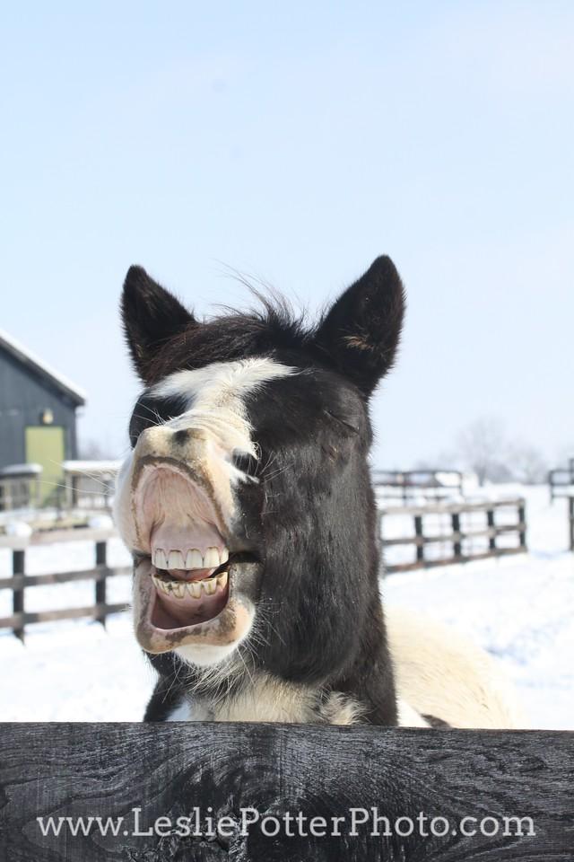 Pinto Horse Displaying Flehmen Response