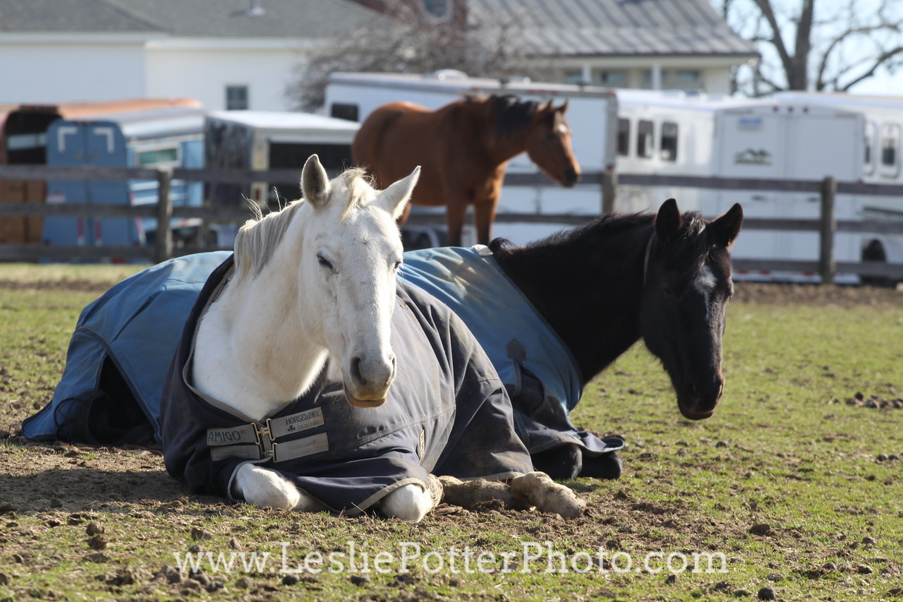 Horses Wearing Blankets Lying Down in the Pasture