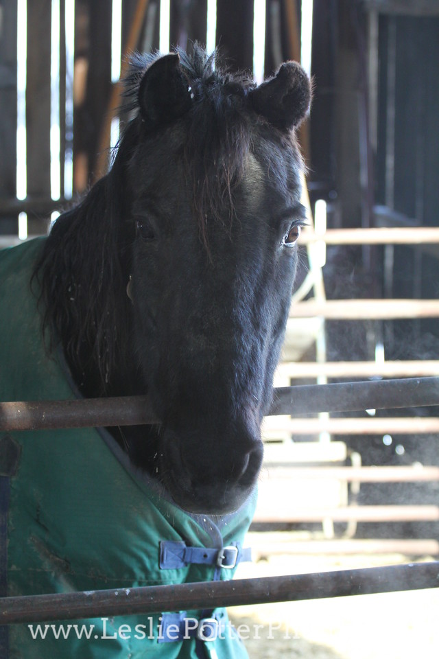 Horse Inside the Barn in Winter