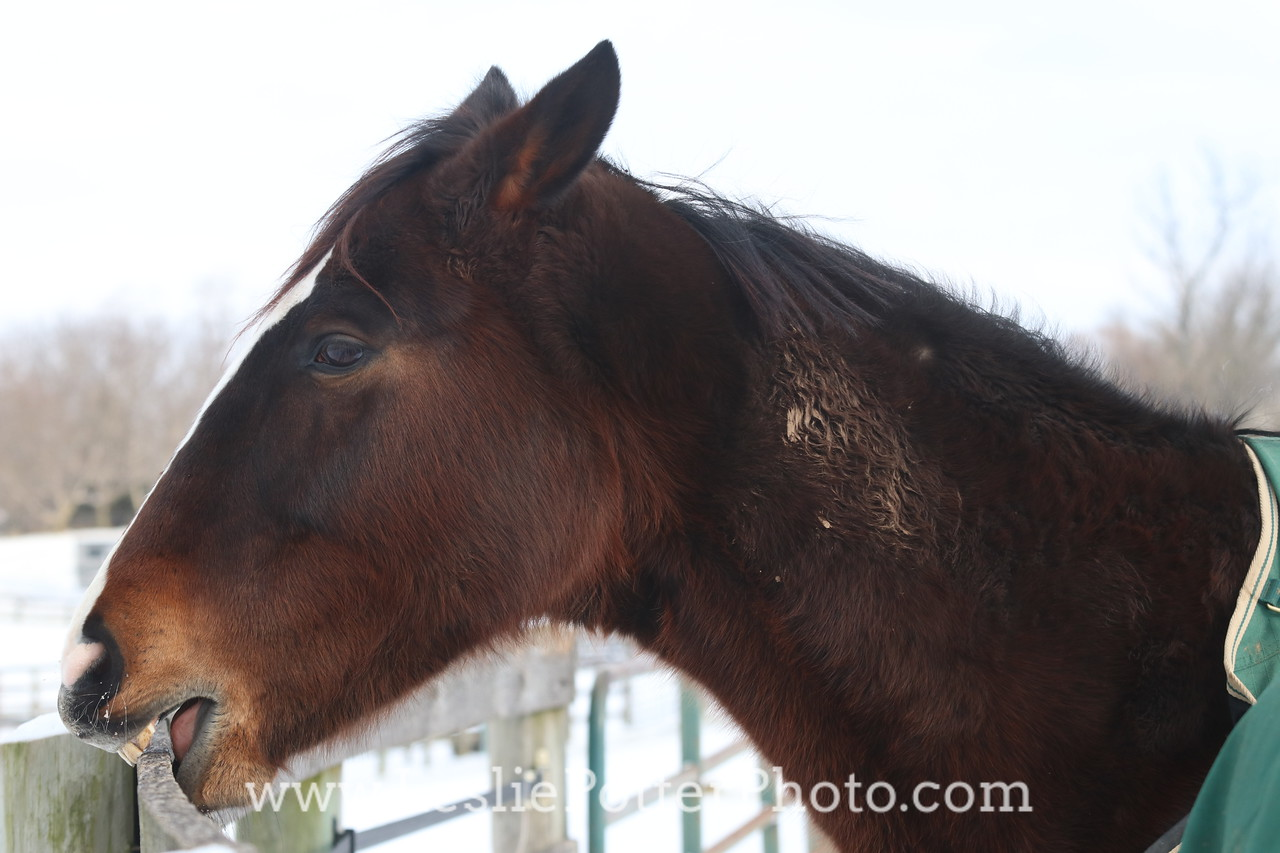 Horse Cribbing on the Fence in Winter