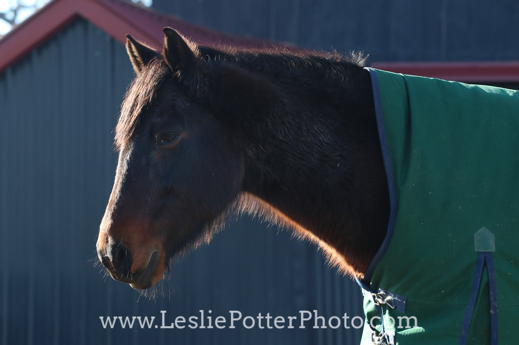 Horse in Blanket