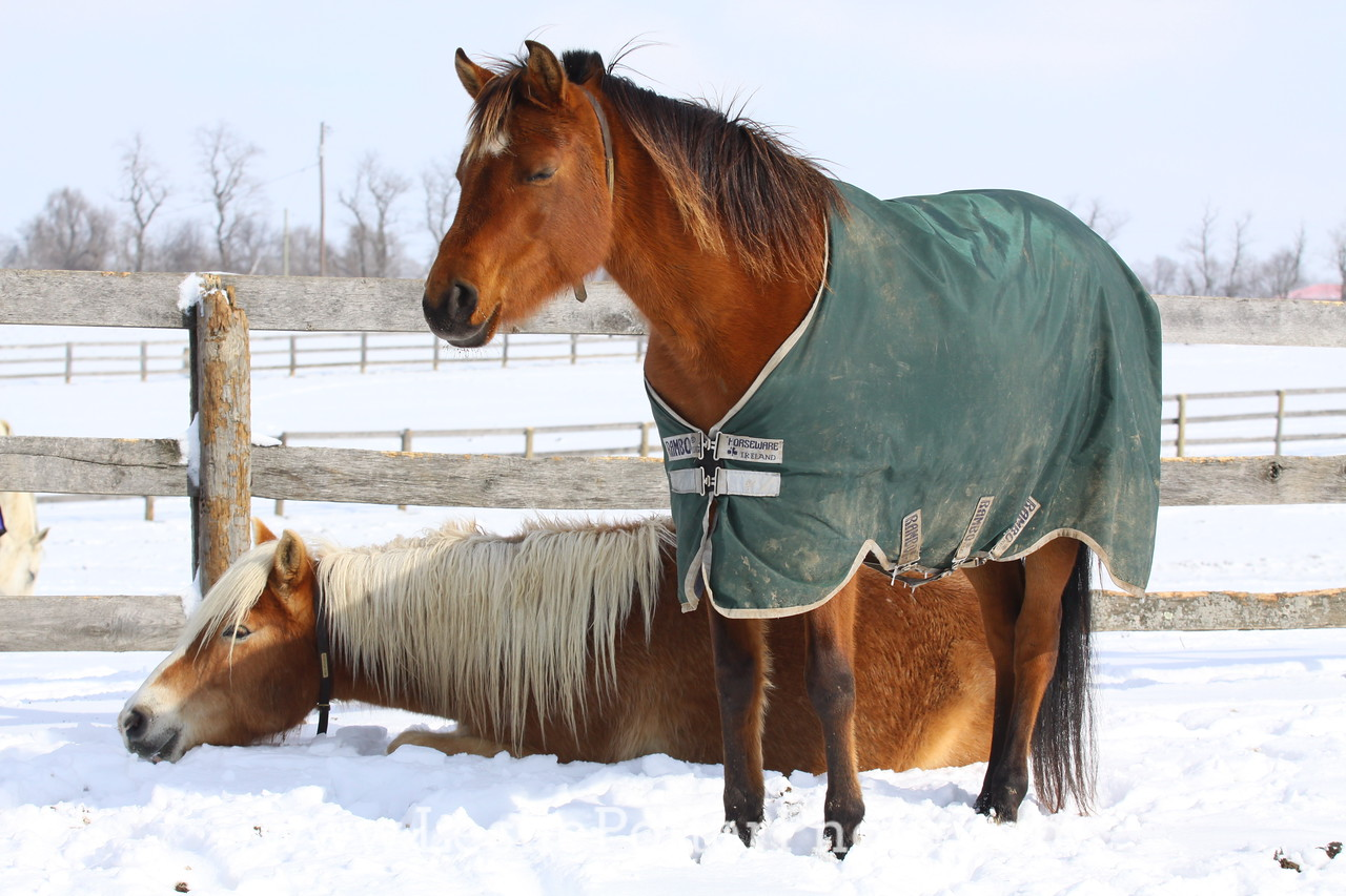 Horse Sleeping in the Snow