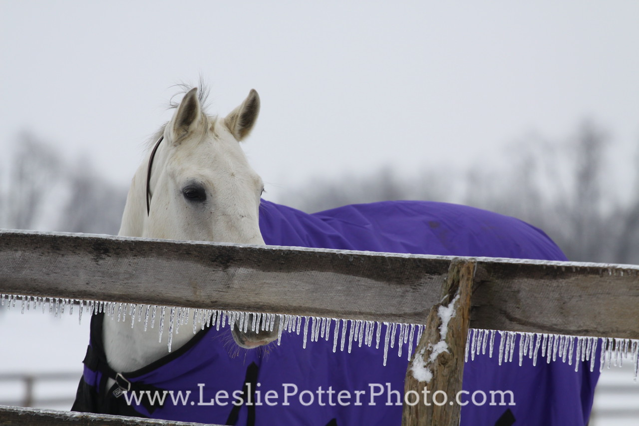 Horse in Blanket Behind Ice-Covered Fence