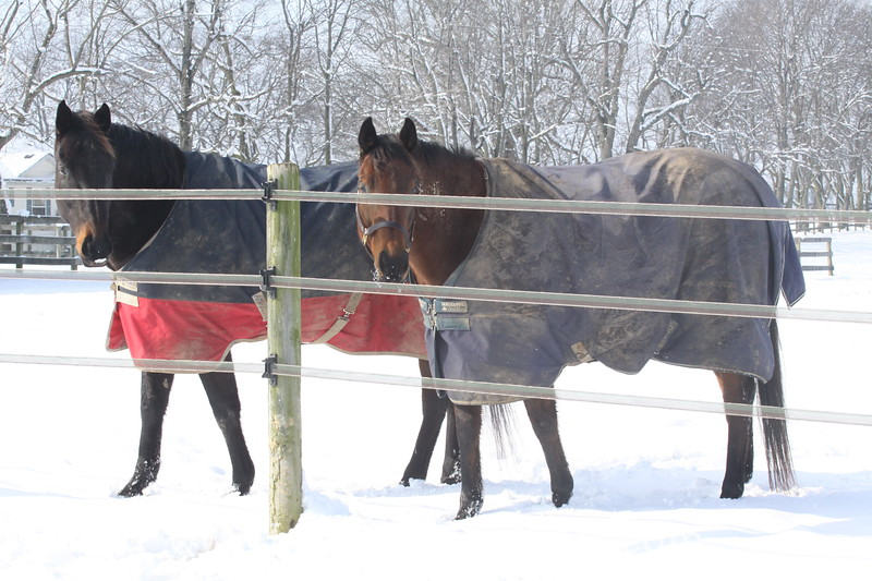 Horses in the Snow Behind Electric Tape Fence