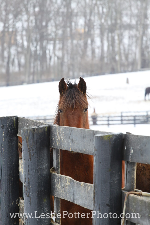 Horse in the Snow Looking Over a Fence
