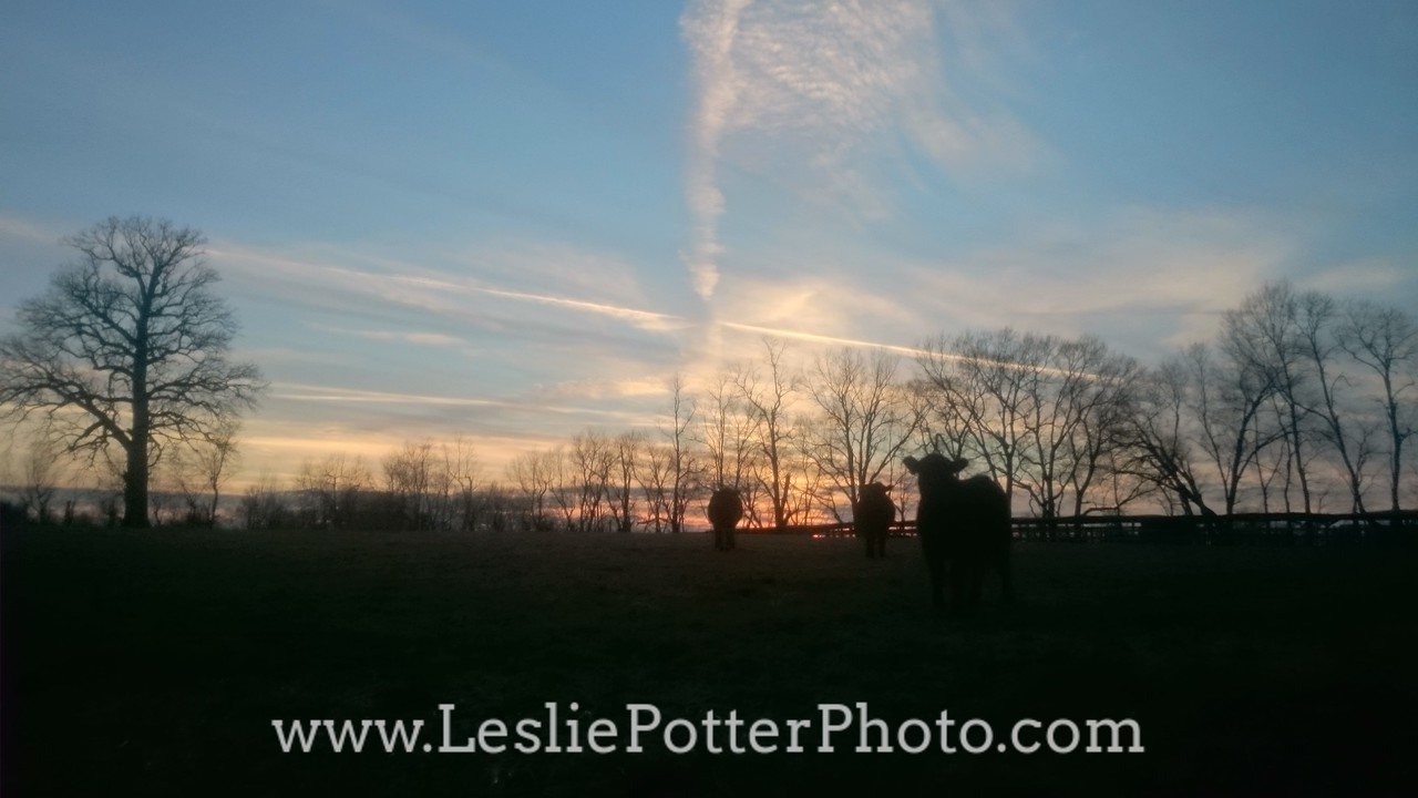 Cow Silhouette at Sunset