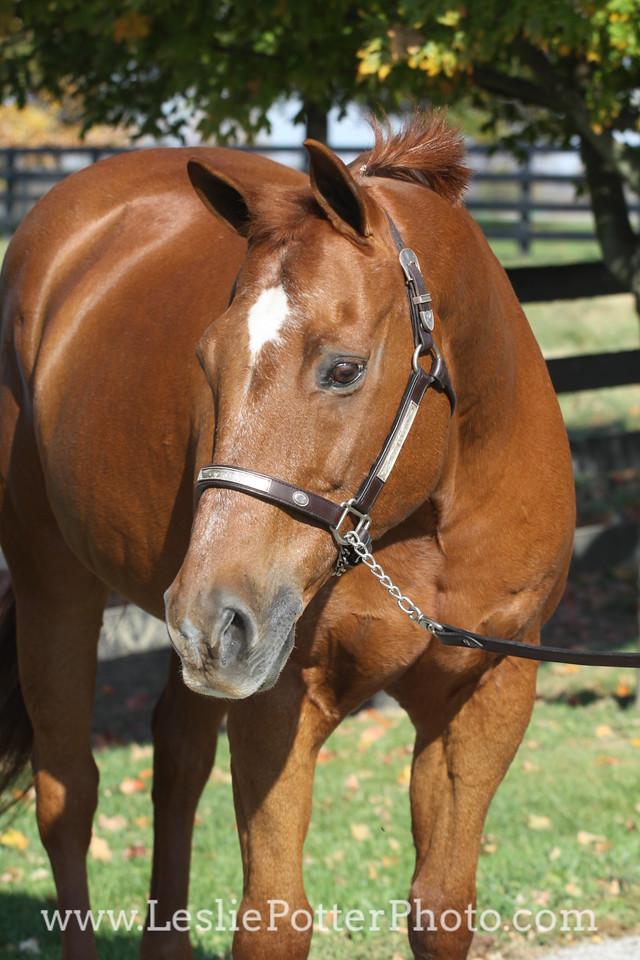 Sorrel American Quarter Horse in Western Show Halter