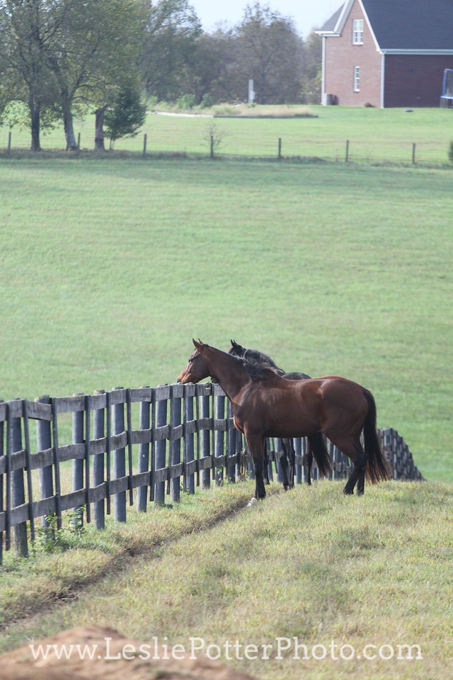 Horses Looking Over Fence