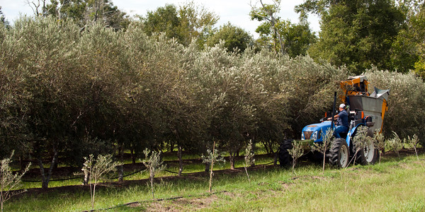 Randy Brazil pulls a harvester behind a tractor as he harvests olives in orchard at the Southeast Texas Olive farm in Devers on Saturday, September 27, 2014.<br /> © 2014 PHOTO/SCOTT ESLINGER - ESLINGER PHOTOGRAPHICS