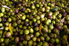 Freshly harvested olives fill the hopper on the olive oil mill at the Southeast Texas Olive farm in Devers on Saturday, September 27, 2014.<br /> © 2014 PHOTO/SCOTT ESLINGER - ESLINGER PHOTOGRAPHICS
