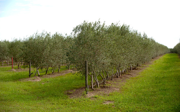 Young olive trees at the Southeast Texas Olive farm in Devers on Saturday, September 27, 2014.<br /> © 2014 PHOTO/SCOTT ESLINGER - ESLINGER PHOTOGRAPHICS