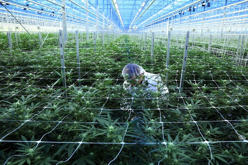 A staff member examine cannabis plants in the flowering room at HEXO Corporation.