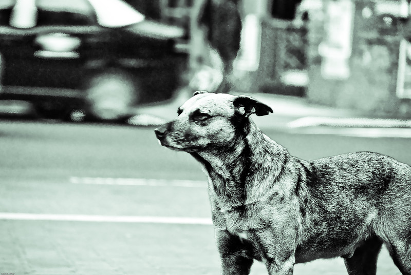 A dog stands still on this bustling and busy section of Buenos Aires, Argentina in what I've captured in this edited photo.