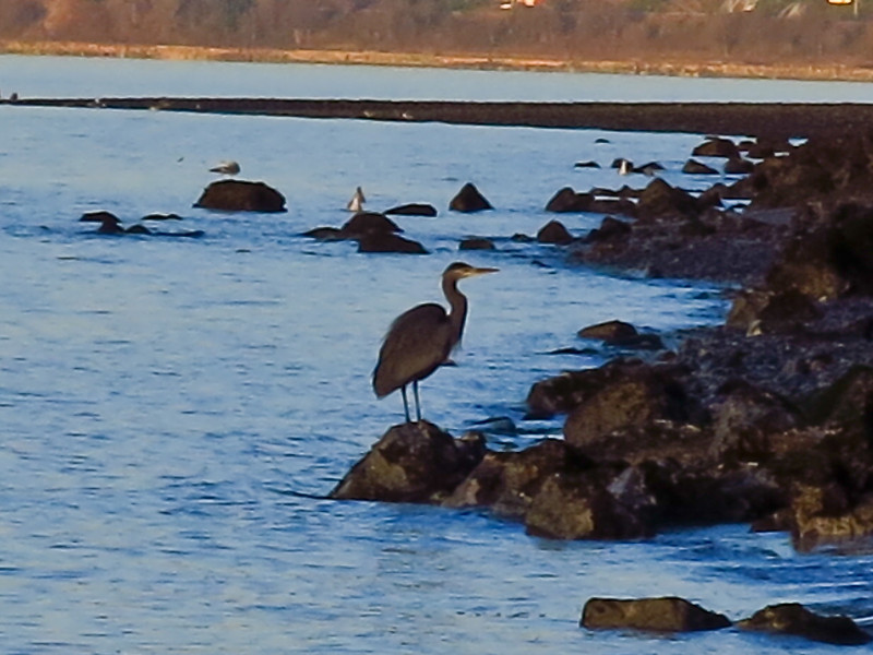 A heron on the rocky beach at relatively high tide on February 7.
