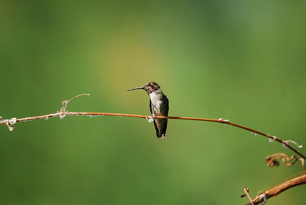 California's Living Desert:  Hummingbirds