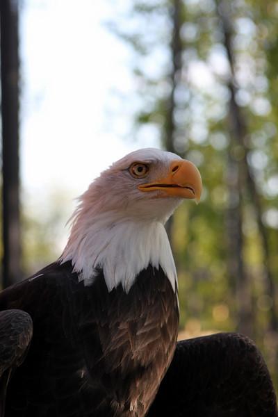 Hal the bald eagle. Hal is a survivor of the Exxon Valdez oil spill disaster.