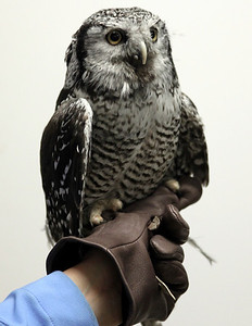 Sabastian the Northern-Hawk Owl