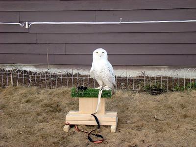 Ghost, Snowy Owl