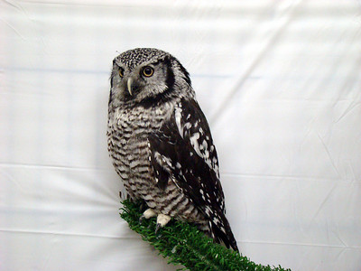 Sabastian, Northern Hawk Owl