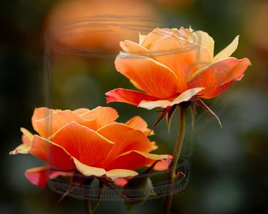 Rose Garden, Portland, OR