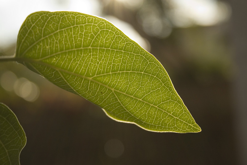 Leaf. Pictures from the backyard.  I liked this picture because of the backlight of the sun coming through the leaf.