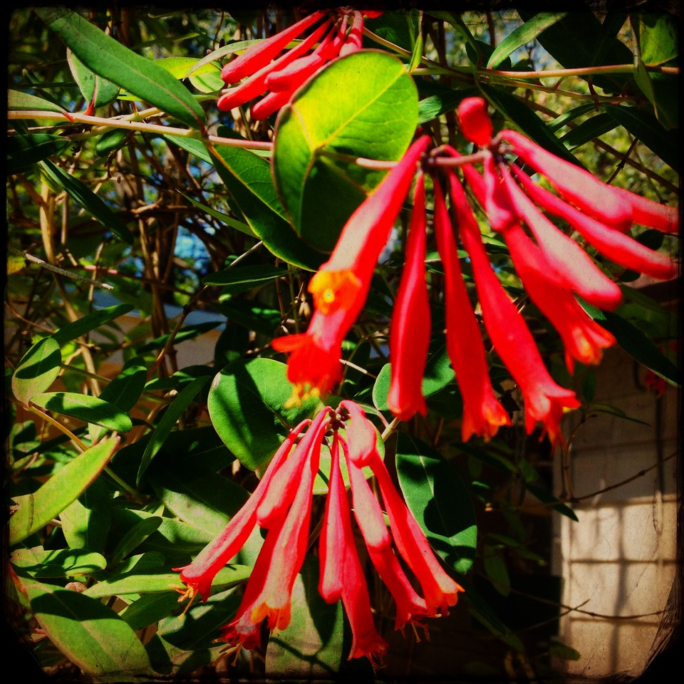 Herb our Coral Honeysuckle