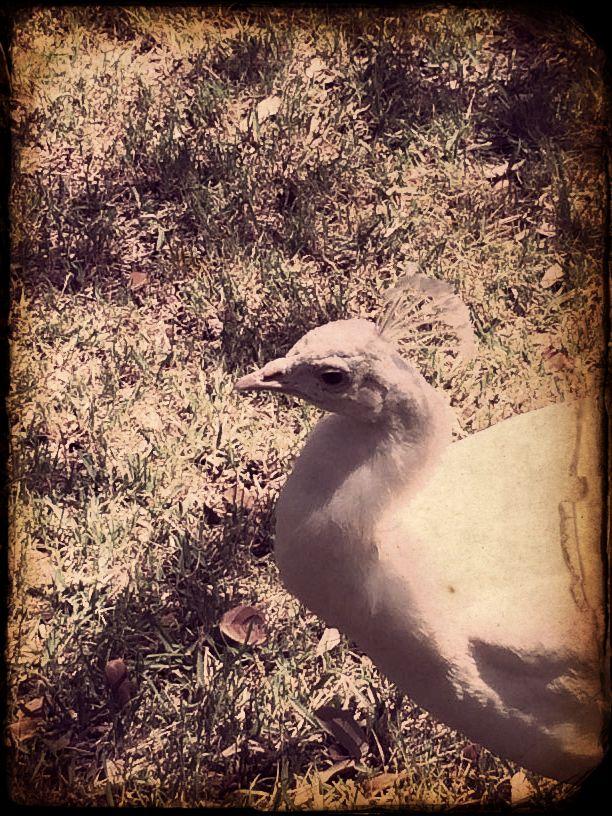 Dan V. picture of Green Pasture peacock