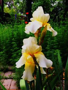 Herb Yellow Iris