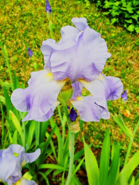 Herb Backyard Iris Awesomeized