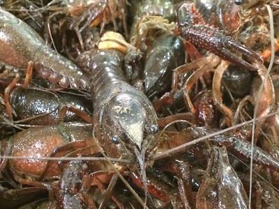 Crawfish (Mud Bug)