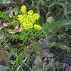 April 3, 2011, Wild Parsley