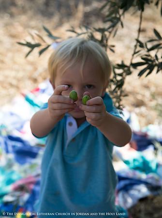 2014 Olive Harvest