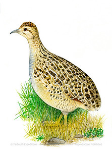 Chilean Tinamou (Nothoprocta perdicaria)