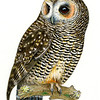 Rufous-legged Owl (Strix rufipes)