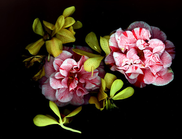 Camellia and Orchid