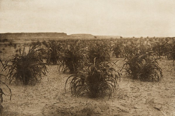A cornfield (The North American Indian, v. XII. Norwood, MA, The Plimpton Press, 1922)