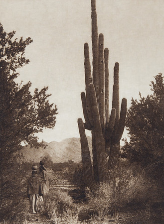 Gathering Cactus Fruit - Pima (Indians of North America, v. II. Cambridge, MA: The University Press, 1908)