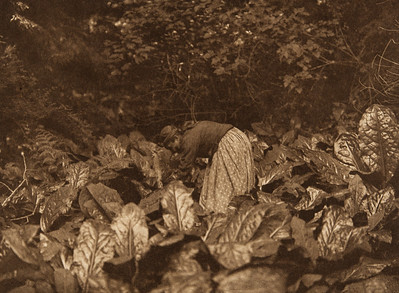 Digging Skunk-Cabbage Roots [Quinault] (The North American Indian, v. IX. Norwood, MA: The Plimpton Press, 1913)