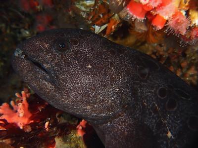Anarrhichthys ocellatus (wolf eel)