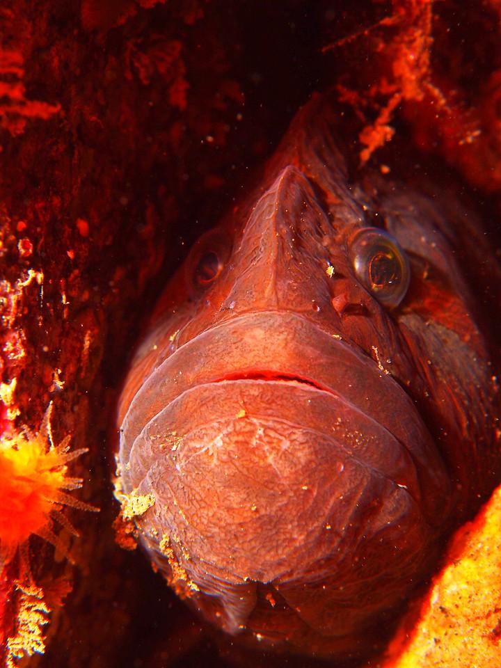 Cebidichthys violaceus (monkeyface prickleback)