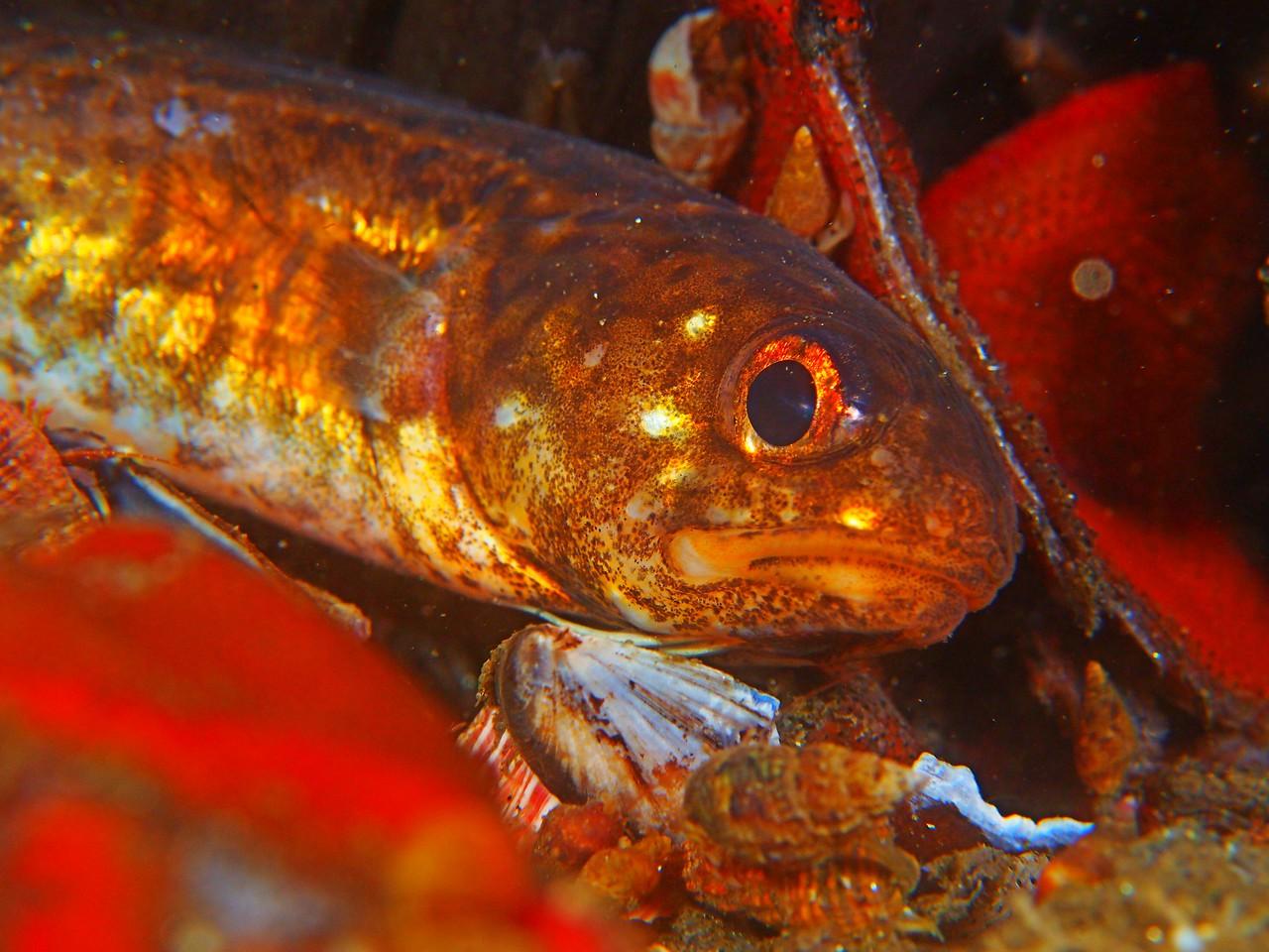Chilara taylori (spotted cusk eel)